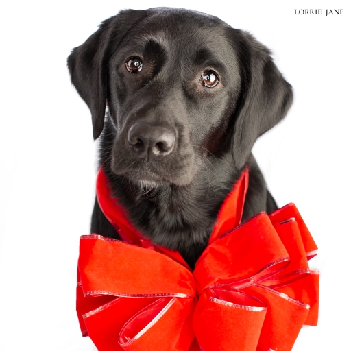 Happy 1st Birthday, Lucy!  #kamloopsphotographer #lorriejanephotography #labradorretriever #labrador #retreiver #birthday #dogphotography #dogs #pets #kamloopsnow